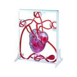 Juego Didactico a partir de 8 años Corzaon 3D Sistema Circulatorio marca Miniland